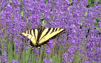 Bees and Butterflies! Pollinator Friendly Landscapes